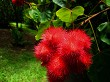 Annatto Tree