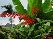 Wild Poinsettia Among Tropical Foliage