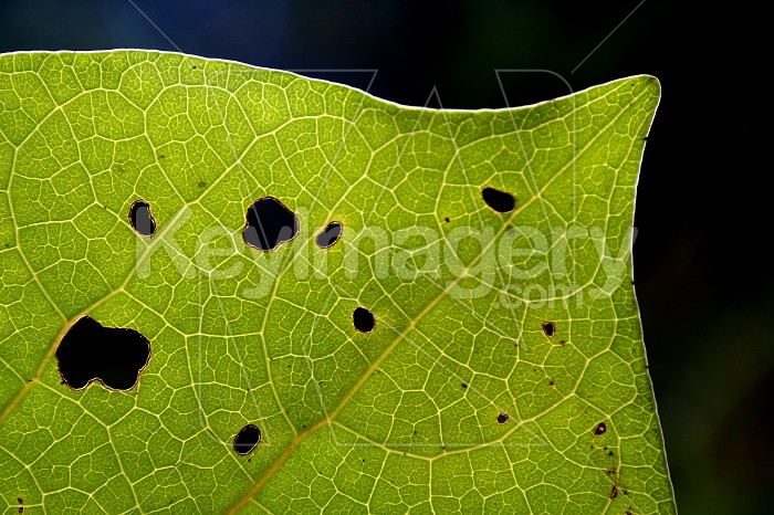 Backlit kawakawa leaf Photo #4689