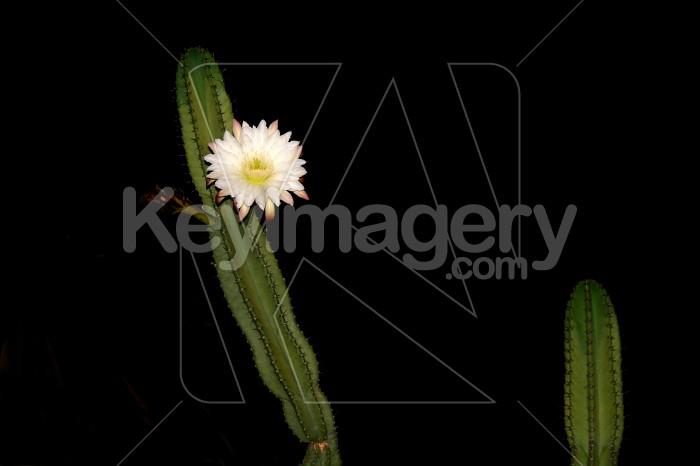 cactus flower Photo #4692