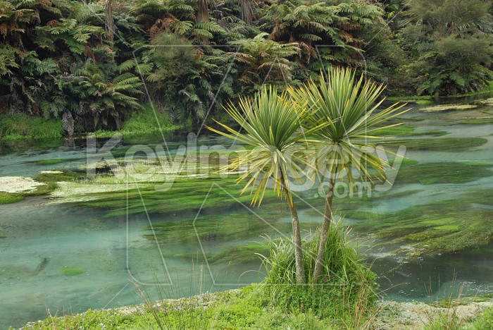 Cordyline beside natural springs Photo #4024