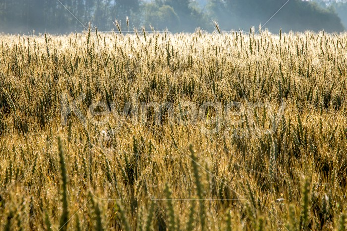 Background of wheat field in summer day. Photo #61267