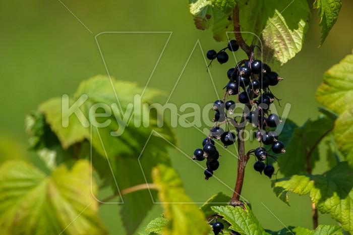 Blackcurrant on bush as background. Photo #60070