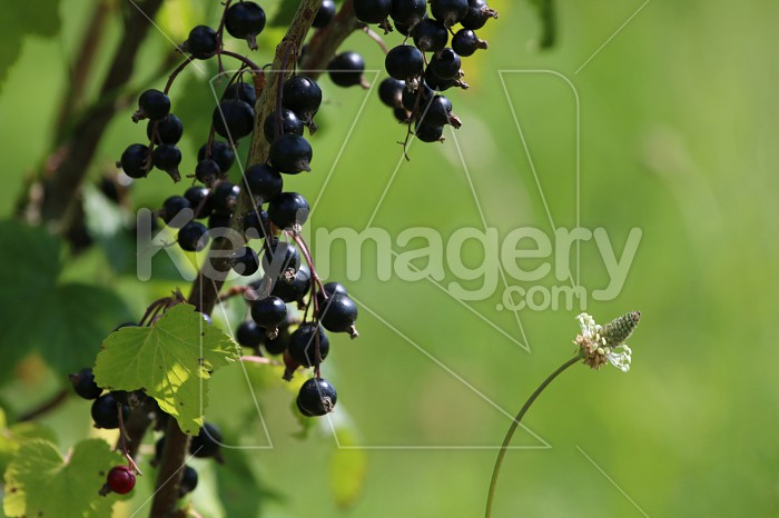 Blackcurrant on bush as background. Photo #60071