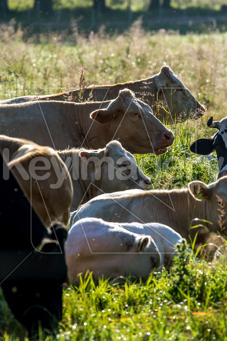 Cows pasture in green meadow. Photo #61096