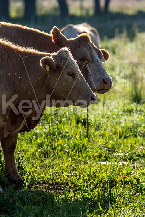 Cows pasture in green meadow. Photo #61100