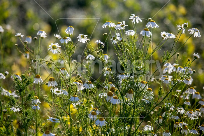Daisies as background in summer day. Photo #61280