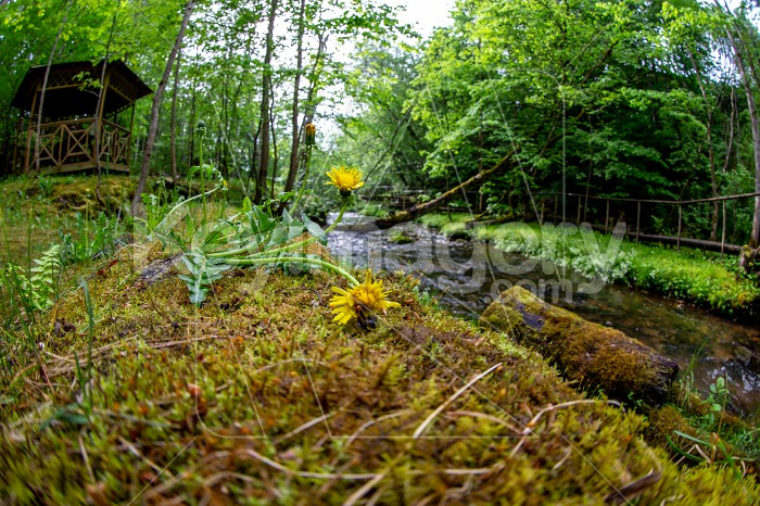 Dandelions on coast of forest river Photo #61592