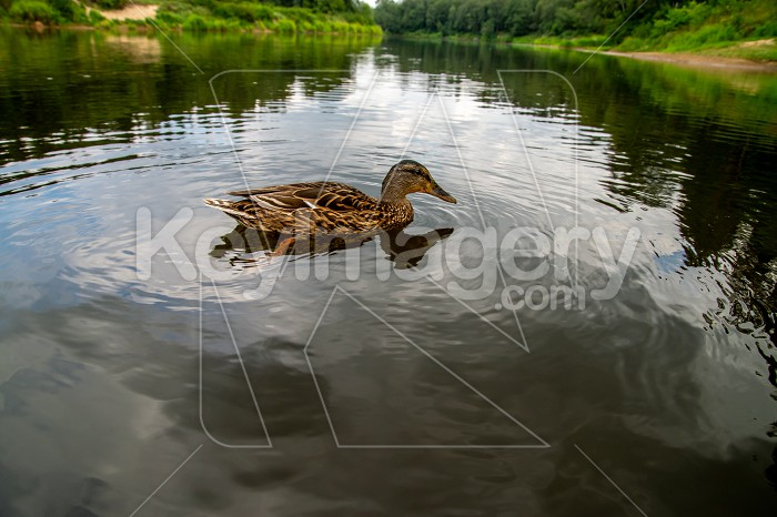 Duck swimming in the river in Latvia Photo #61409