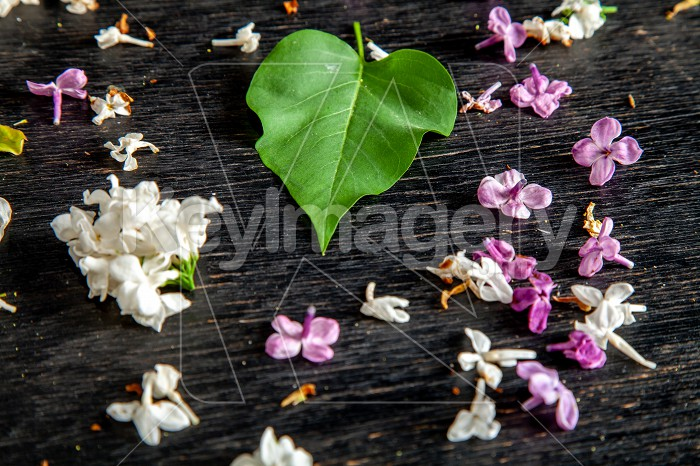 Fallen lilac flowers and leaf on the table Photo #61939