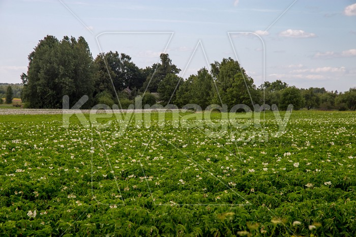 Green field with flowering potatoes Photo #61144