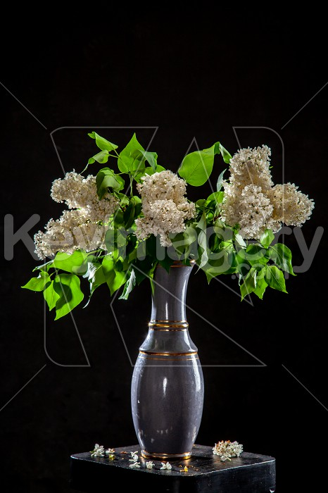 Lilac in vase on the black background Photo #61920