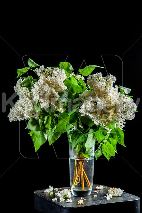 Lilac in vase on the black background Photo #61930
