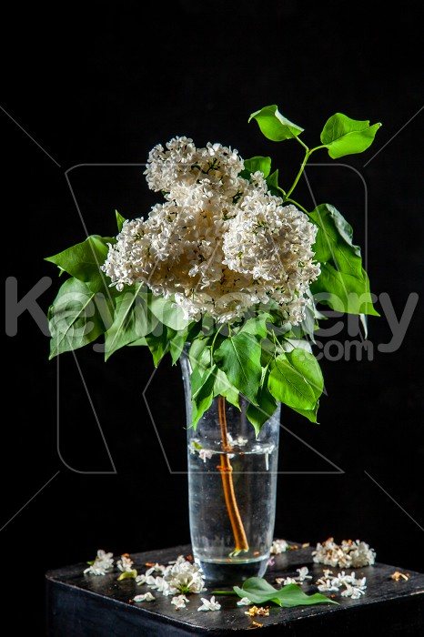 Lilac in vase on the black background Photo #61931