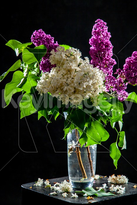 Lilac in vase on the black background Photo #61932