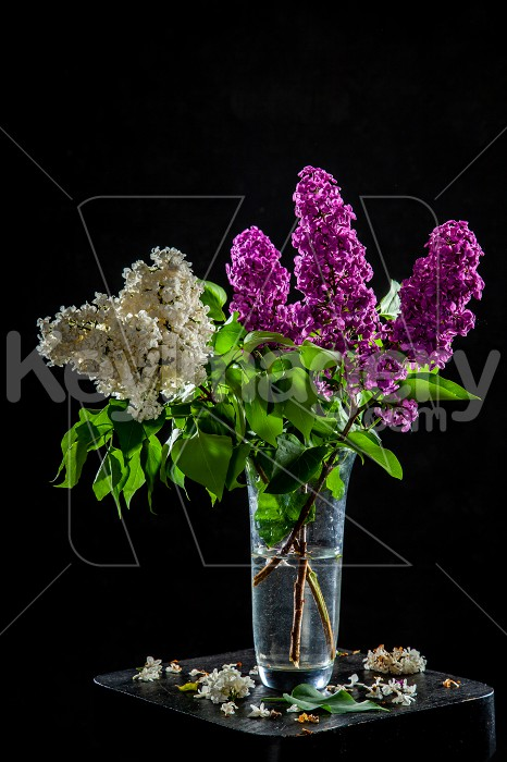 Lilac in vase on the black background Photo #61934