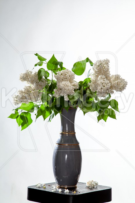 Lilac in vase on the white background Photo #61921