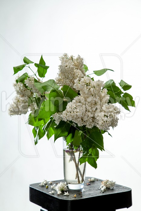 Lilac in vase on the white background Photo #61924