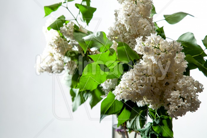Lilac in vase on the white background Photo #61925