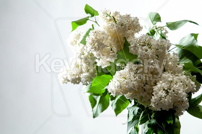 Lilac in vase on the white background Photo #61926