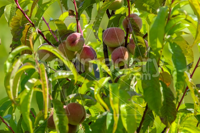 Peaches on tree in sunny day. Photo #60075