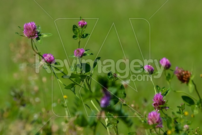 Pink clover on green meadow. Photo #59897