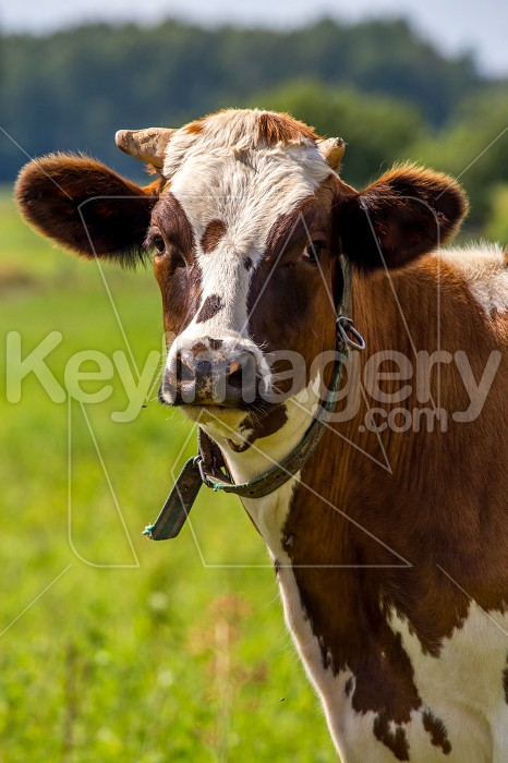 Portrait of dairy cow in pasture. Photo #60974