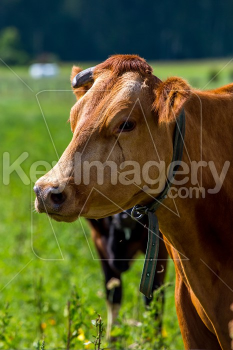 Portrait of dairy cow in pasture. Photo #60978
