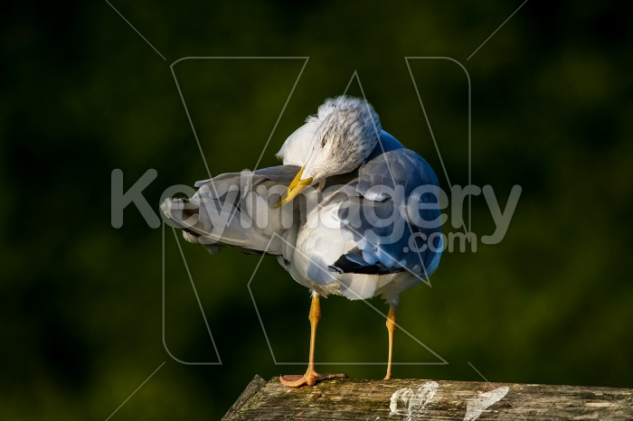 Seagull clear wings against natural green background. Photo #60372