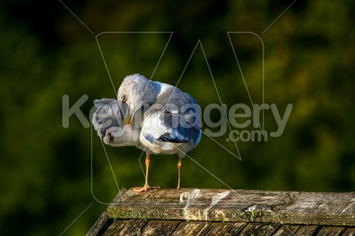 Seagull clear wings against natural green background. Photo #60385