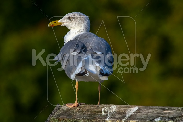 Seagull standing against natural green background. Photo #60388