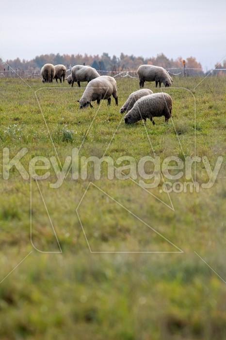 Sheep herd on meadow in summer season. Photo #60136