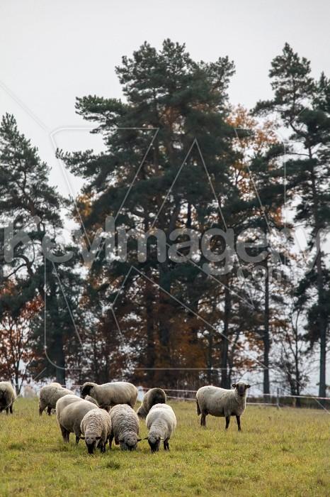 Sheep herd on meadow in summer season. Photo #60137
