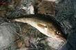 Baltic sea cod.