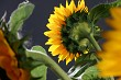 Sunflower in studio 5