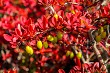 Yellov berries red bush