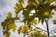 Maple tree leaves in Latvia.