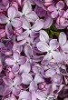 Background of purple lilac blossom.