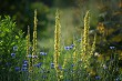 Cornflowers on meadow as background.