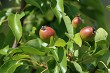 Background of pears on tree.