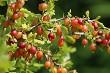 Gooseberries in green bush as background.