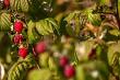 Red autumn raspberries in green bush.