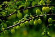 Green plums on green tree branch.