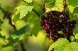 Red currants on green bush.