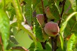 Peaches on tree in sunny day.