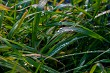 Closeup of grass with rain drops as background.