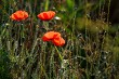Blooming red poppy flowers on summer wild meadow.