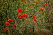 Bright red poppy flowers on summer wild meadow.