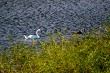 Beautiful white swans family swims in the lake.