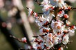 Apricot tree flowers in spring season.